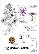 Maine Drawings Posters - Study Book New England Aster Poster by Betsy Gray