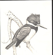 Kingfisher Drawings Framed Prints - study for Belted Kingfisher painting Framed Print by Bill Gehring