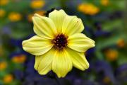 Flower Design Photos - Study in Yellow  by Robert Ullmann