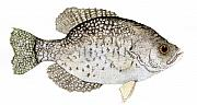 Crappie Prints - Study of a Black Crappie Print by Thom Glace