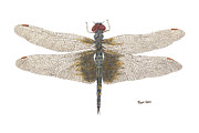 Dragonfly Painting Originals - Study of a Female Black Saddlebags by Thom Glace