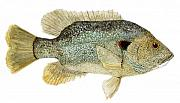 Crappie Posters - Study of a Green Sunfish Poster by Thom Glace