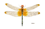 Dragonfly Painting Originals - Study of a Male Checkered Setwing by Thom Glace
