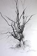 Wales Drawings - Study of a Tree by Harry Robertson