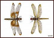 Dragonfly Painting Originals - Study of a Yellow Sided Pennant and a Widow Pennant by Thom Glace