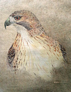 Native American Spirit Portrait Drawings Framed Prints - Study of the Red-Tail Hawk Framed Print by Leslie M Browning