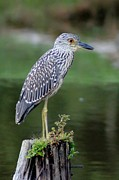 Waterway Birds Prints - Stumped Night Heron Print by Benanne Stiens
