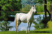 White Horses Photo Prints - Stunner Print by Emily Stauring