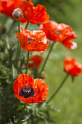 Poppies Prints - Stunners Print by Rebecca Cozart