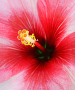 Intricacy Framed Prints - Stunning Close-up Of Centre Of Red Hibiscus Flower Framed Print by Rosemary Calvert
