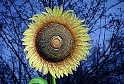 Annual Framed Prints - Stylized Sunflower Framed Print by Tom Mc Nemar
