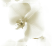 Etheral Framed Prints - Subtle Orchid Framed Print by Karen Lewis