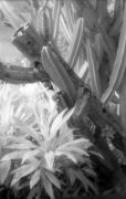 Infrared Framed Prints - Succulent Delight Framed Print by Richard Rizzo
