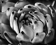 Kelley King Photo Posters - Succulent Petals Black and White Poster by Kelley King