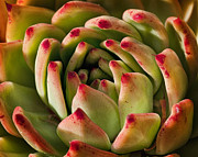 Kelley King Framed Prints - Succulent Petals Framed Print by Kelley King