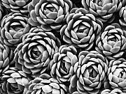 Succulents Posters - Succulents in Black and White Poster by Marion McCristall