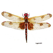 Dragonfly Painting Originals - Sudy of a Calico Pennant by Thom Glace