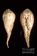Breeding Posters - Sugar Beet Breeding Poster by Science Source