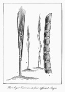 Narrative Of An Expedition Prints - Sugar Cane, 1796 Print by Granger