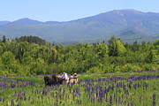 Lafayette Prints - Sugar Hill Horse Tour and Lupines Print by John Burk