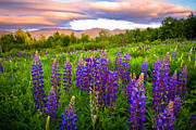 White Mountains New Hampshire Posters - Sugar Hill Lupines Poster by Robert Clifford