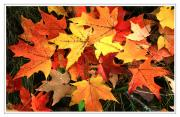 Fall Leaves Posters - Sugar Maple Poster by Margaret Hood