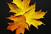 Sugar Photo Prints - Sugar Maple No. 1 Print by Harry H Hicklin