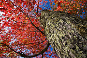 Sugar Maple Print by Robert Clifford