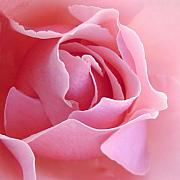 Pink Metal Prints - Sugar of Rose Metal Print by Jacqueline Migell