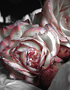 Sympathy Metal Prints - Sugar Rose Metal Print by Monroe Snook