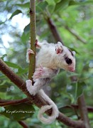 Apple of my Eye Images - Sugarglider Joey