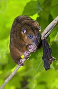Possum Photos - Sulawesi Dwarf Cuscus by Tony Camacho