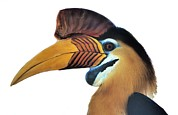 Helmet Posters - Sulawesi Red-knobbed Hornbill Poster by Chris Hellier