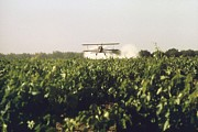 Bi Planes Photos - Sulfur Dusting Of Grape Vines By Air by Everett