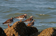 Sullivan Metal Prints - Sullivans Island Shore Birds Metal Print by Melissa Wyatt
