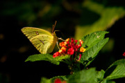 Arkansas Metal Prints - Sulpher Butterfly on Lantana Metal Print by Douglas Barnett