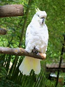 Lorrie Bible - Sulphur-crested Cockatoo...