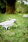 Pecking Prints - Sulphur Crested Cockatoo Print by Helen Yin
