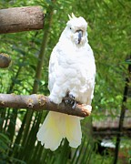 Lorrie Bible - Sulphur-crested Cockatoo