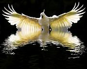 Bird In Flight Prints - Sulphur crested cockatoo rising Print by Sheila Smart