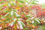 Glabra Framed Prints - Sumac and Snow  Framed Print by Thomas R Fletcher