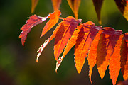 Fall Colors Autumn Colors Posters - Sumac in the Sun Poster by Bill Pevlor