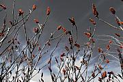 Featured Photo Originals - Sumac by Peter DeCamp