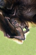 Caring Mother Prints - Sumatran Orang-utang Mother And Baby Print by Tony Camacho