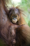 Critically Endangered Animals Framed Prints - Sumatran Orangutan 9 Month Old Baby Framed Print by Suzi Eszterhas