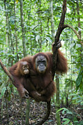 Critically Endangered Animals Posters - Sumatran Orangutan And Her 2.5 Year Old Poster by Suzi Eszterhas