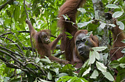 Critically Endangered Animals Prints - Sumatran Orangutan And Her 9 Month Old Print by Suzi Eszterhas