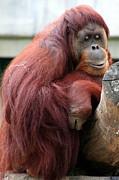 Sumatran Orangutan Print by Laurel Talabere