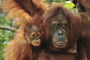 Sumatran Orang-utan Prints - Sumatran Orangutan Pongo Abelii Mother Print by Thomas Marent