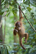 Critically Endangered Animal Prints - Sumatran Orangutan Pongo Abelii One Print by Suzi Eszterhas
